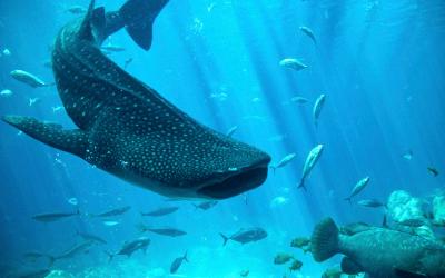 Nadar con el Tiburón Ballena ¿Una buena aventura?